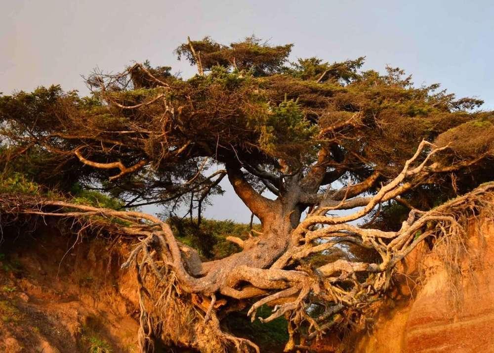 Tree of Life WA Kalaloch Lodge